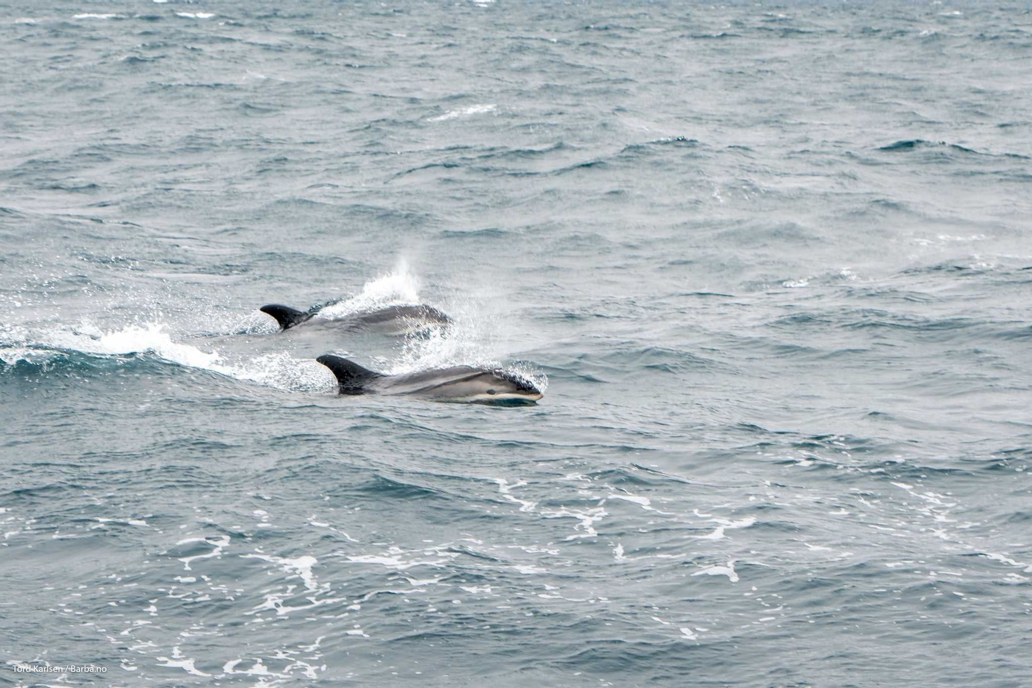 The illusive white sided dolphin. Little is known about this species, including its conservational status. Photo: Tord Karlsen / Barba.no