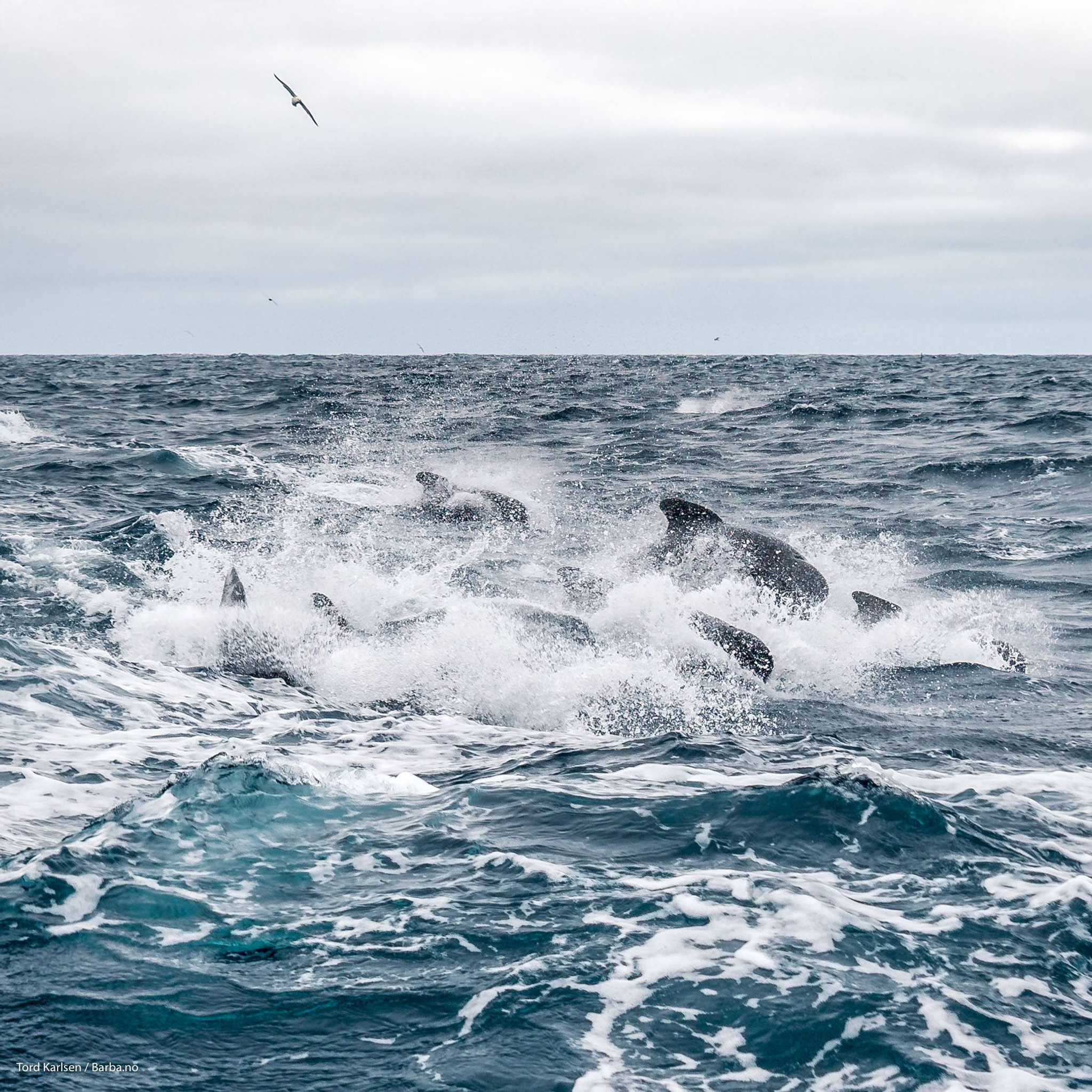 A small selection of the pilot whales trailing our boat. Photo: Tord Karlsen / Barba.no