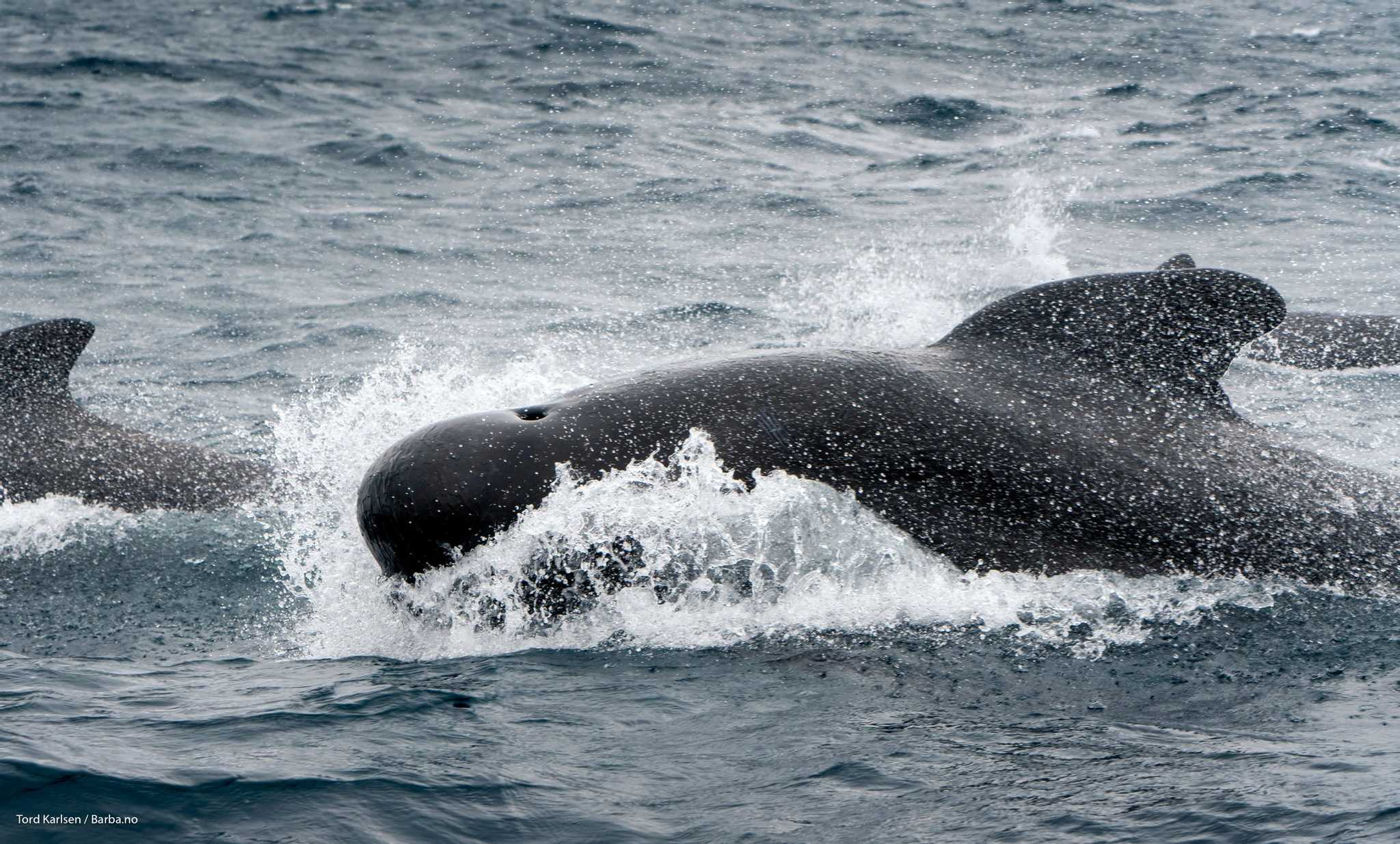 The distinct backwards swept fin of a pilot whale. They reach up to 7,6 meters in length weighing up to 3800 kgs. They are highly social and operate in pods counting over 100 individuals. Photo: Tord Karlsen / Barba.no