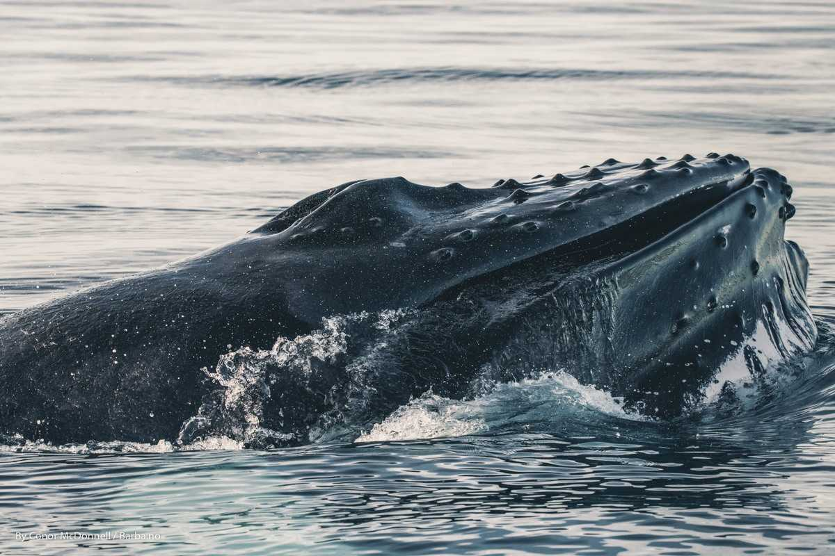 Humpback whale up close. Photo by Conor McDonnell